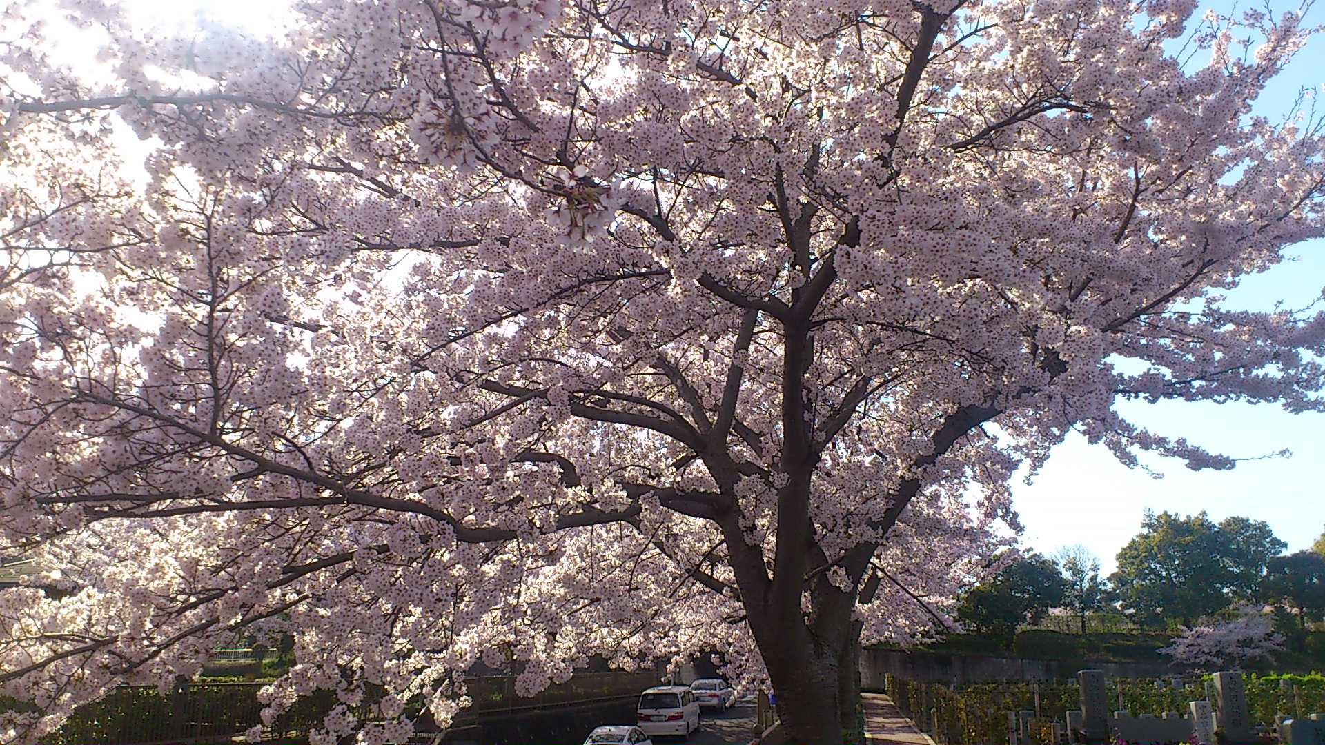 満開の桜の下、お花見しながらお墓参り