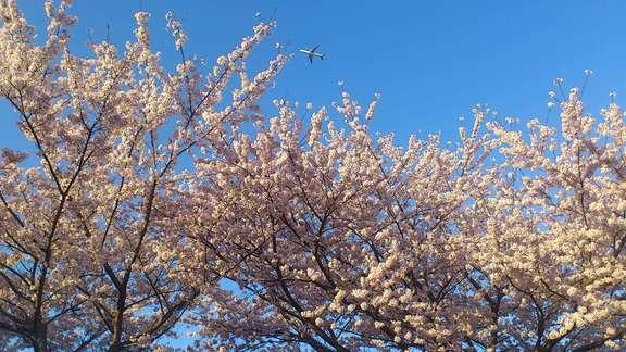 桜情報(4/14)