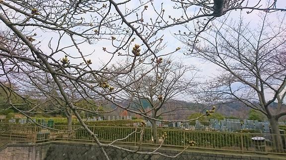 大阪柏原聖地霊園 2019年桜情報 3月22日