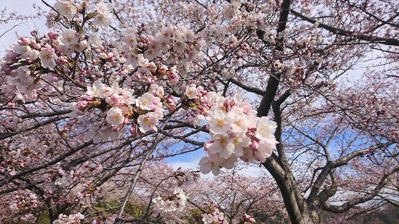 大阪柏原聖地霊園 2019年桜情報 4月5日