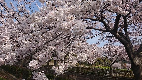 大阪柏原聖地霊園 2019年桜情報 4月7日