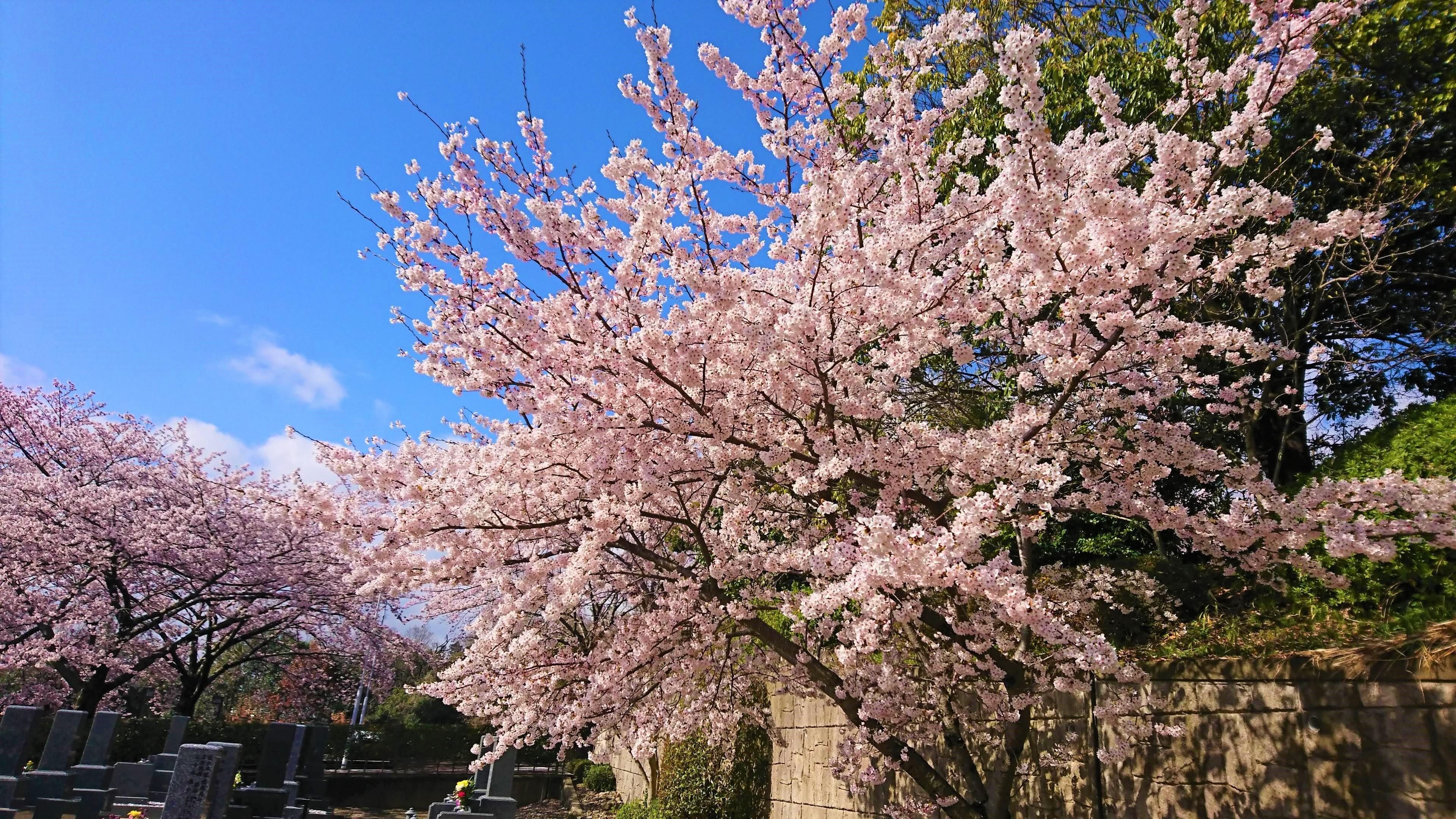 大阪柏原聖地霊園 2019年桜情報 4月8日
