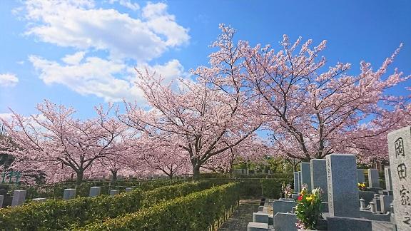 大阪柏原聖地霊園 2019年桜情報 4月9日