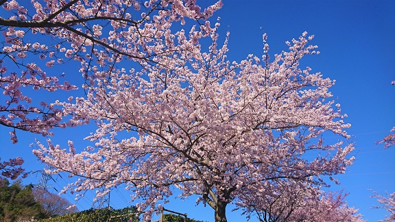 大阪柏原聖地霊園 桜情報 4月13日