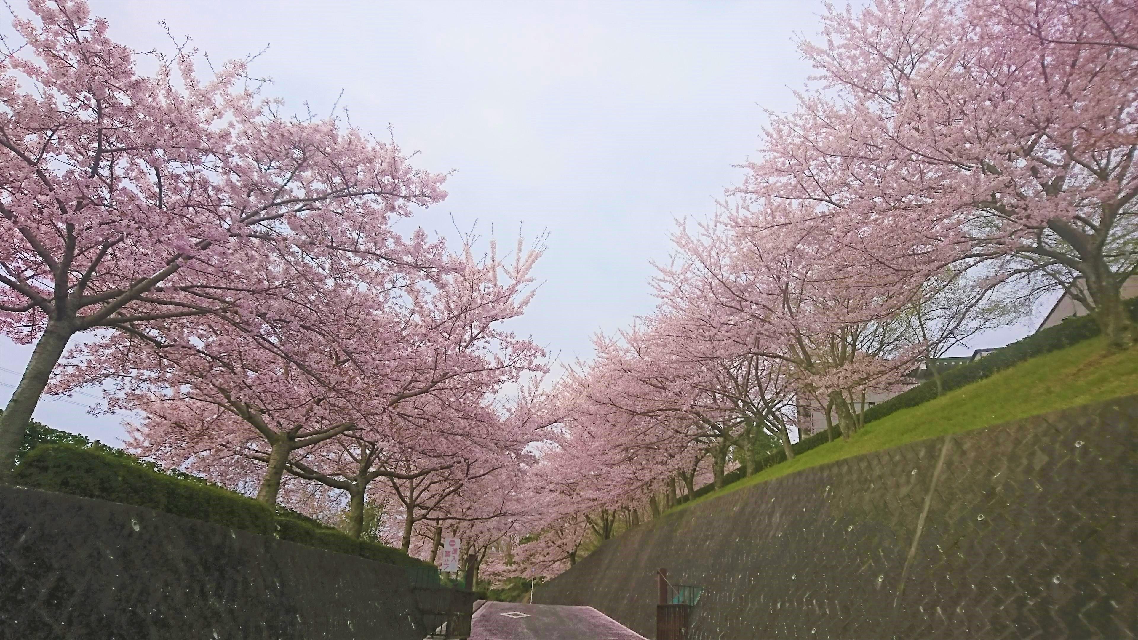 大阪柏原聖地霊園 桜情報 4月14日
